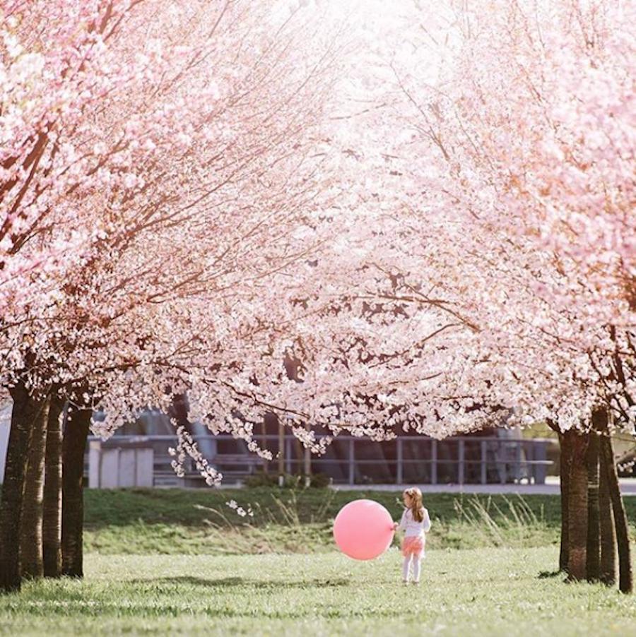 Cesnjevi cvetovi ljubljana