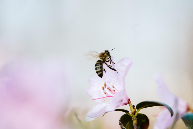 izbruh bee venom čebelji strup