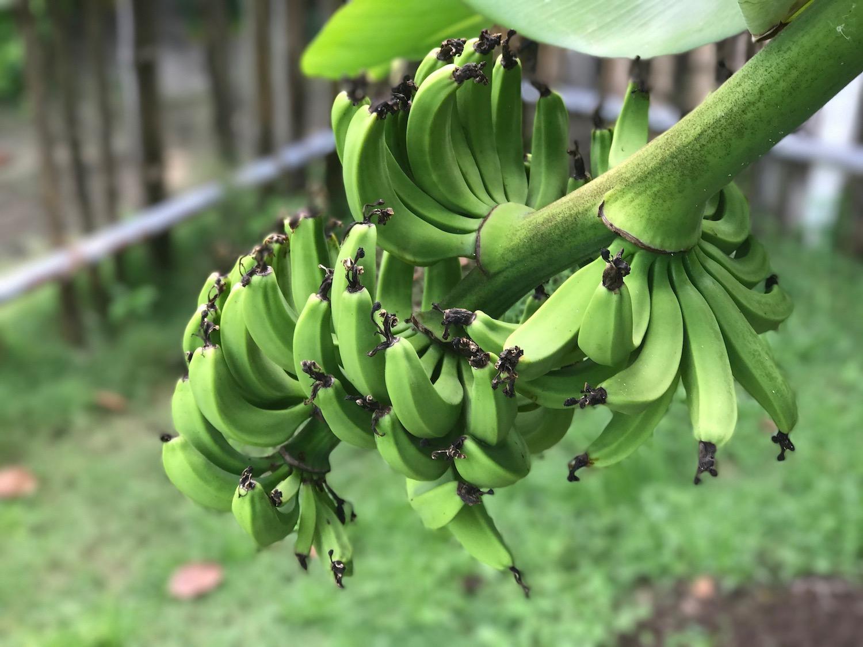 Sun Island Resort Maldives bananovec