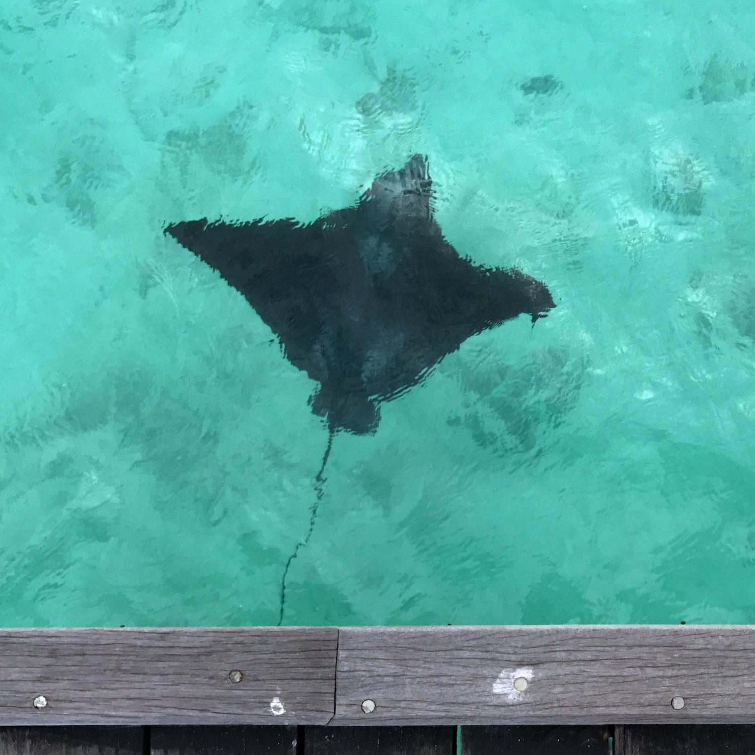eagle ray Maldives