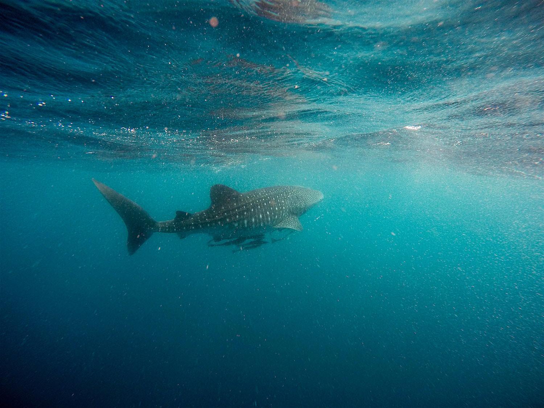 Sun Island Resort Maldives morski pes kitovec