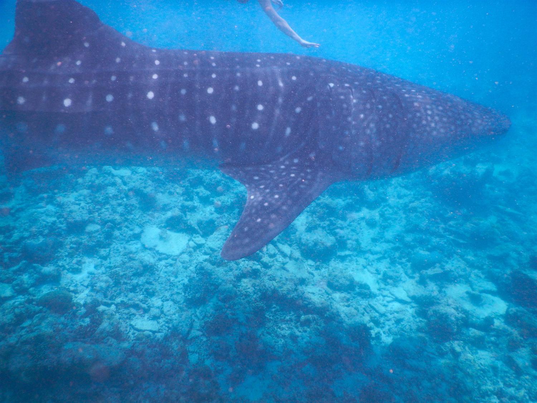 sun island resort morski pes kitovec