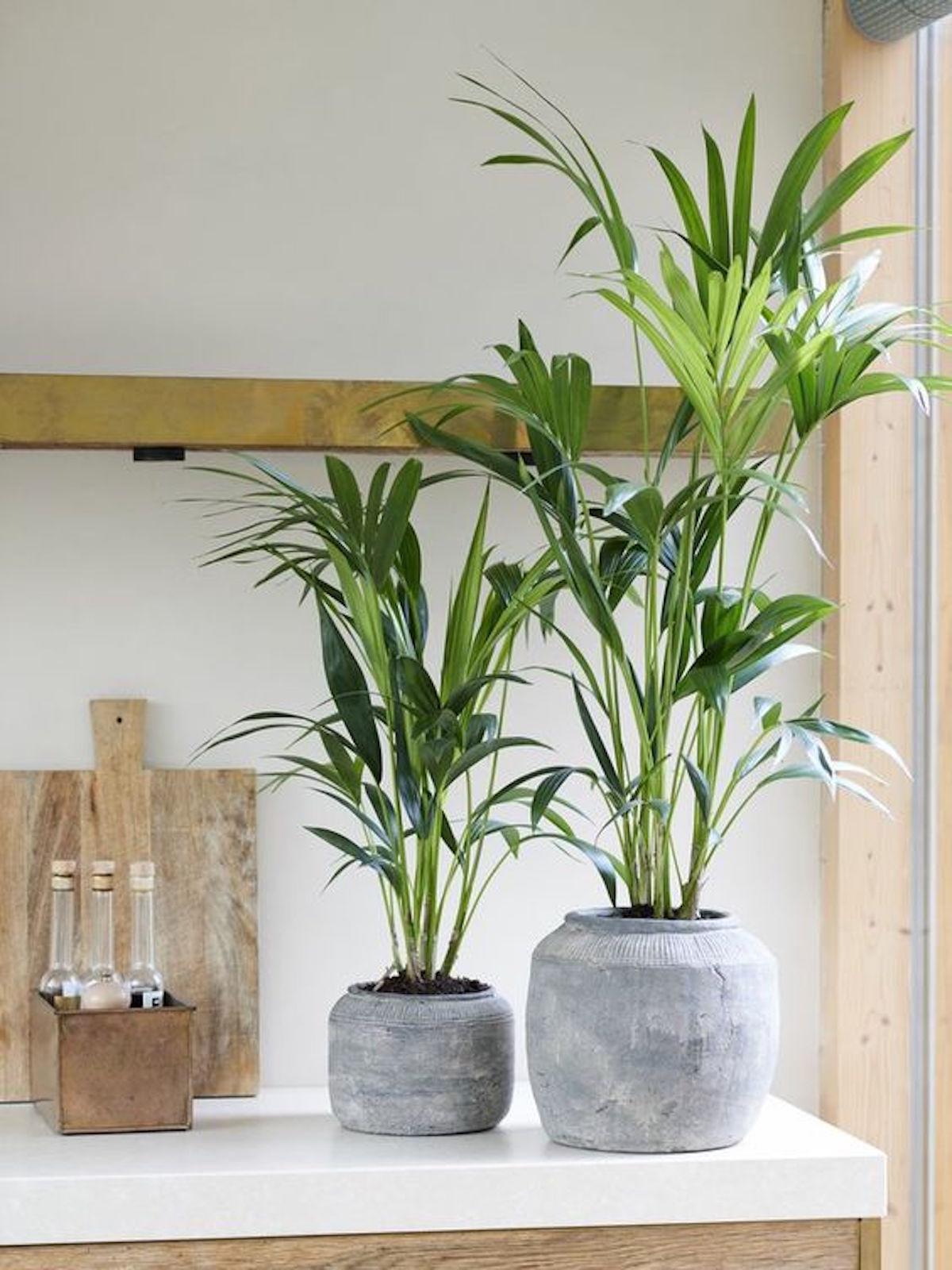 sobne rastline gardenia cvetlicarna beautyfull blog Kentia palm 2