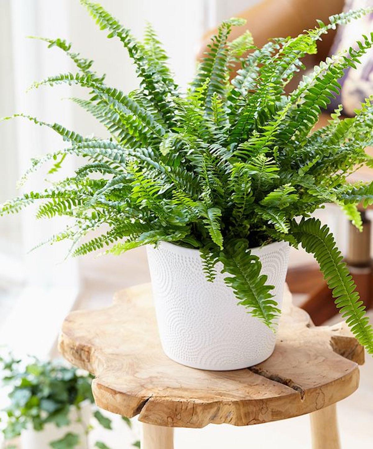 sobne rastline gardenia cvetlicarna beautyfull blog Nephrolepis