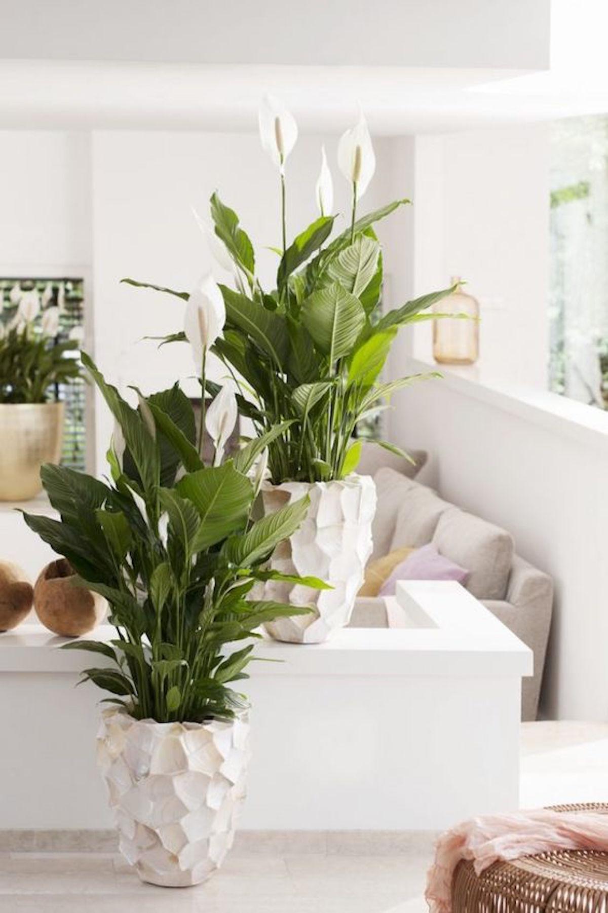sobne rastline gardenia cvetlicarna beautyfull blog Spathiphyllum
