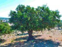 melvita argan drevo miti