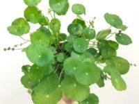 azijski vodnji popnjak centella asiatica naravna aktivna učinkovina